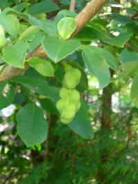 Frökapslar från Magnolia