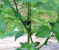Nattskatta, Solanum nigrum ssp. nigrum