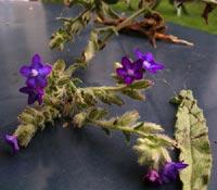 Oxtunga, Anchusa officinalis