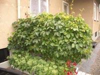 Klättervildvin, Parthenocissus quinquefolia