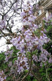 Kejsarträd, Pawlovia tomentosa