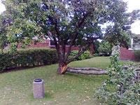 Rädda plommonträd som är skadat