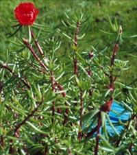 Portulaca grandiflora, praktportulacka