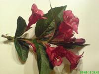 Rosenprakttry, Weigela florida