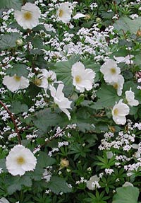 Stort brudhallon, Rubus triden Beneden
