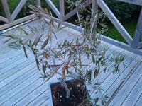 Stora olivträd