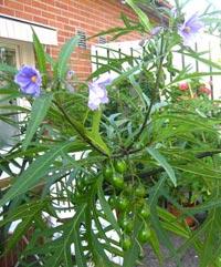 Potatisblomma, Solanum laciniatum, kenguruäpple