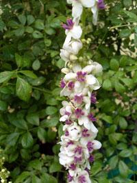 Violkungsljus, Verbascum phoenicum