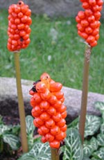 Arum maculatum, munkhätta