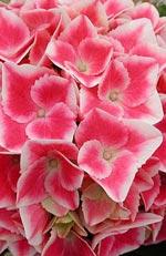 Hydrangea macrophylla, hortensia