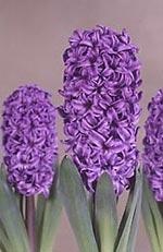 Hyacinthus orientalis, hyacint