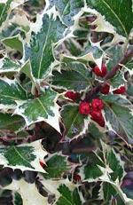Ilex aquifolium, järnek
