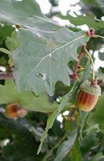Quercus robur, ek