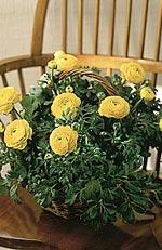 Ranunculus hybrid