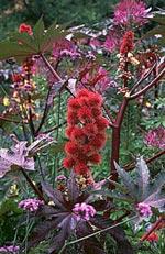 Ricinus communis, ricin