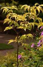 Sambucus racemosa, druvfläder