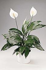 Spathiphyllum floribundum, fredskalla