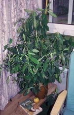 Synadenium grantii, mjölkbuske, gummiplanta