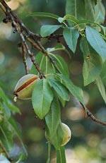Prunus dulcis v. amara, bittermandel