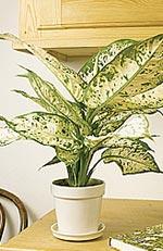Dieffenbachia, prickblad