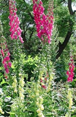 Digitalis purpurea, fingerborgsblomma