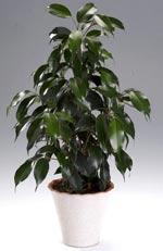 Ficus benjamina, benjaminfikus