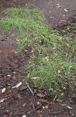 Rhamnus frangula, brakved