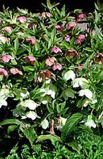 Helleborus orientalis, julros