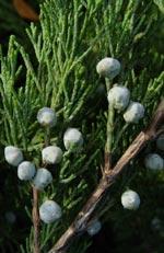 Juniperus sabina, sävenbom