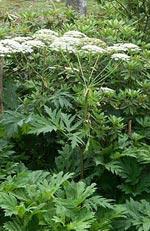 Heracleum sibiricum, björnloka