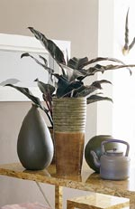 Philodendron-arter, filodendron
