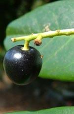 Prunus laurocerasus, lagerhägg