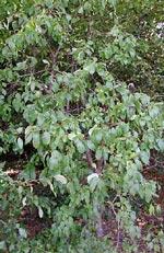 Rhamnus cathartica, getapel