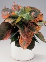 Mosaikblad, Acalypha wilkesiana hybrid