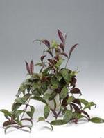 Purpurfackla, Aeschynanthus marmoratus