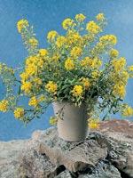 Liten stenört, Alyssum montanum