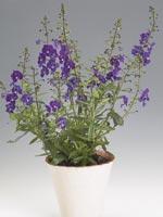 Angelonia, Angelonia hybrid