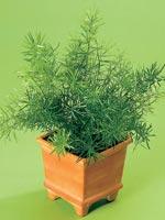 Natalsparris, rävsvanssparris, Asparagus densiflorus
