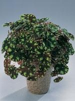 Panterbegonia, Begonia bowerae