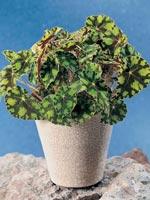 Ögonfransbegonia, Begonia bowerae