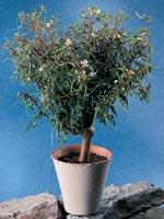 Flaskbegonia, Begonia dregei
