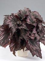 Rexbegonia, Begonia rex-hybrid