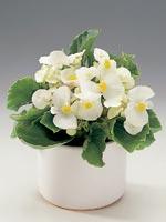 Isbegonia, Begonia semperflorens-hybrid
