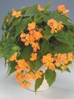 Mönjebegonia, Begonia sutherlandii
