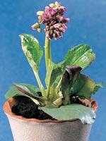 Hjärtbergenia, Bergenia cordifolia
