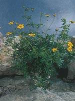 Ampelskära, ampelbidens, Bidens ferulifolia