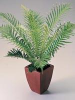 Palmbräken, Blechnum gibbum