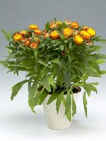 Jätteeternell, Xerochrysum bracteatum syn. Bracteantha bracteata