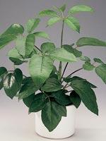 Palmaralia, Schefflera actinophylla syn. Brassaia actinophylla