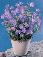 Liten blåklocka, Campanula rotundifolia
